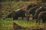 Elephants drink from a water hole.