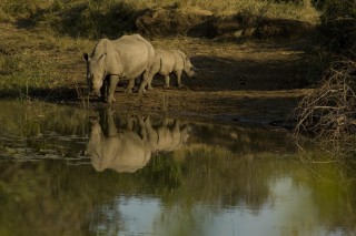 white rhino and her calf