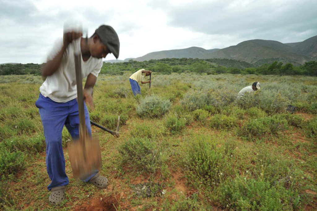 Hundreds of thousands of hectares of the Baviaanskloof have been restored by planting spekboom, the anchor species of the subtropical thicket.